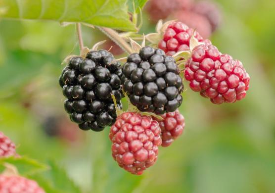 ブラックベリー等小粒果実